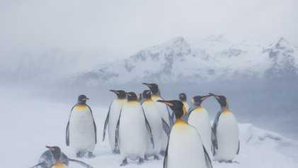 Avistan un pingüino amarillo en la Antártida: ¿por qué es tan raro?