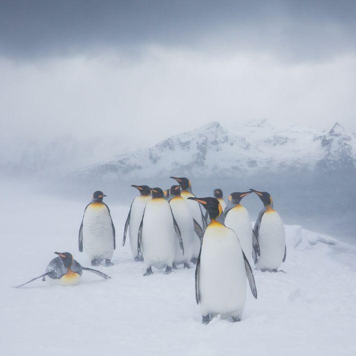 Fotografía de un grupo de pingüinos rey
