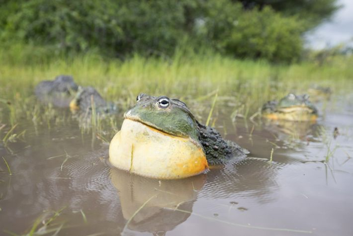 Una rana toro africana macho