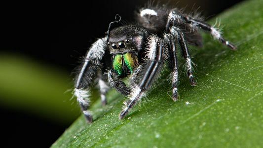 Cómo las arañas y otros invertebrados generaron herramientas naturales blindadas