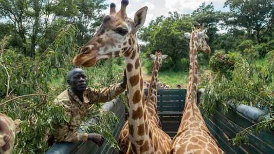 El traslado de las jirafas del África occidental