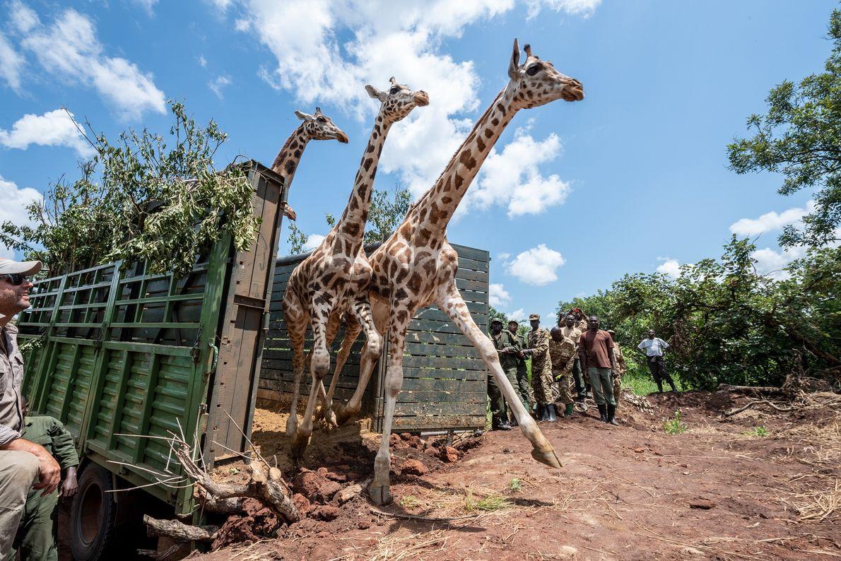 Tres jirafas de Rothschild