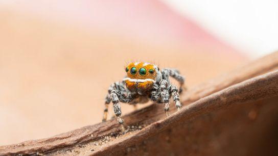 Una araña Maratus nemo