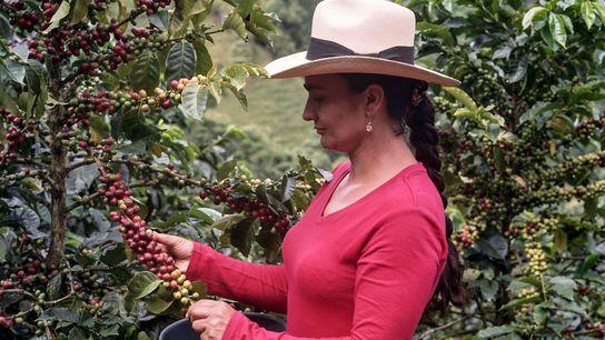 Alba María, matriarca de una familia multigeneracional de caficultores de Caldas, Colombia, selecciona minuciosamente las cerezas ...