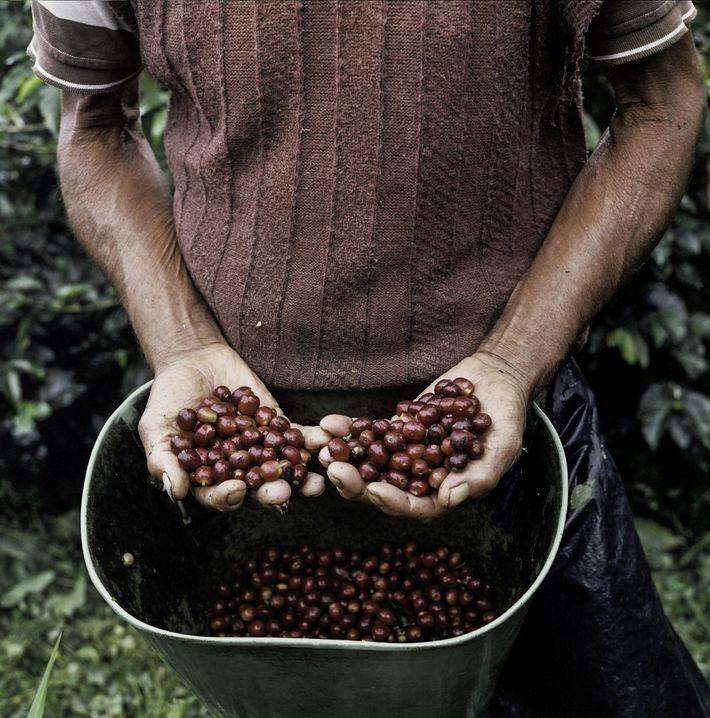 Las pequeñas plantaciones de café salpican las laderas de los Andes en la provincia colombiana de ...