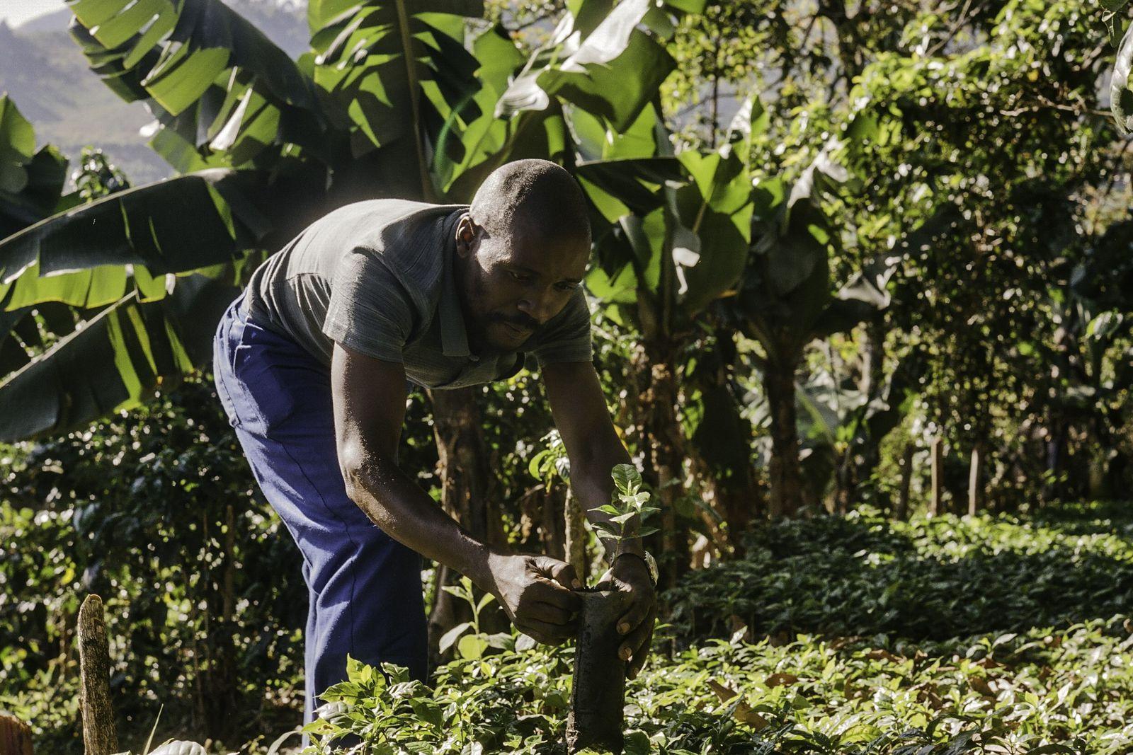 Zachariah Mukwinya, un caficultor del pueblo de Chavhanga, en el distrito de Mutasa, ha visto un ...