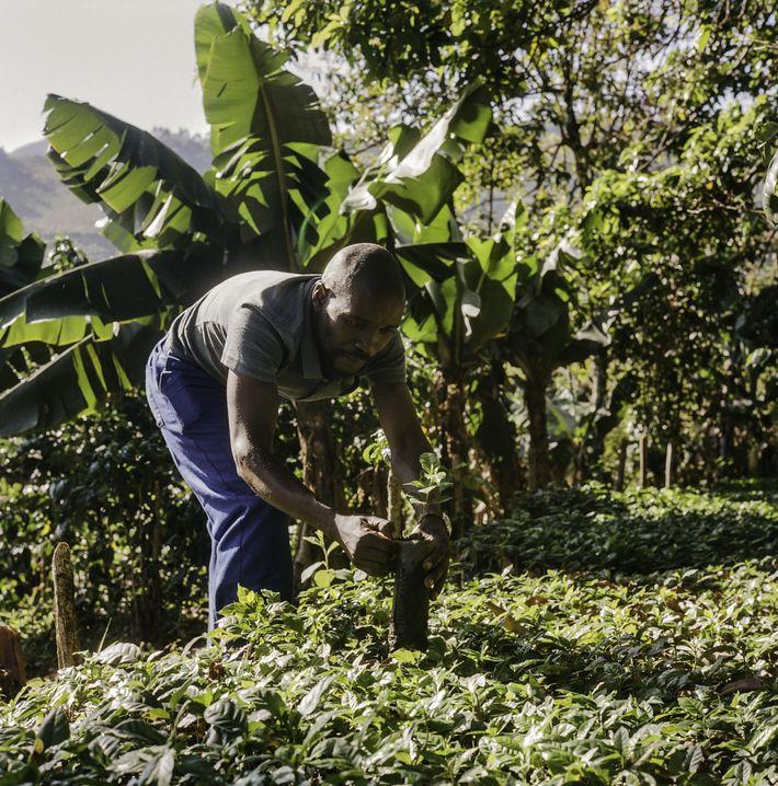 El cultivo de café depara un futuro mejor a los agricultores de Zimbabue