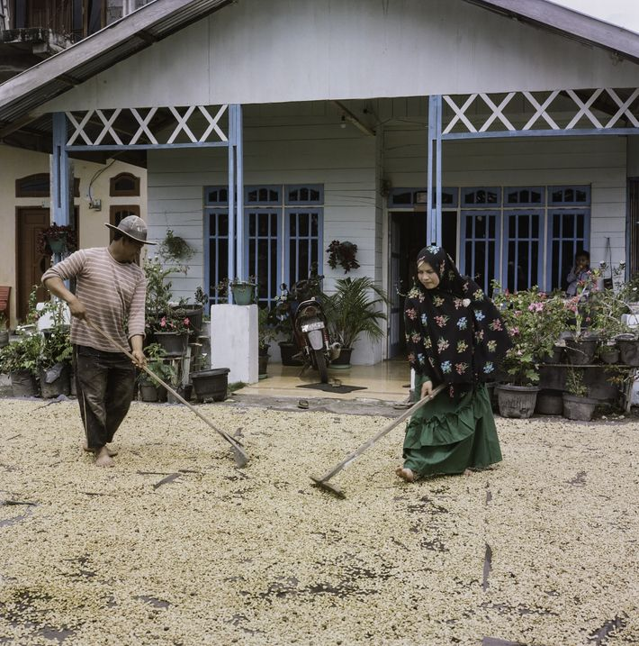 Los caficultores de Sumatra utilizan una peculiar técnica de descascarillado «en húmedo» que ayuda a acelerar ...