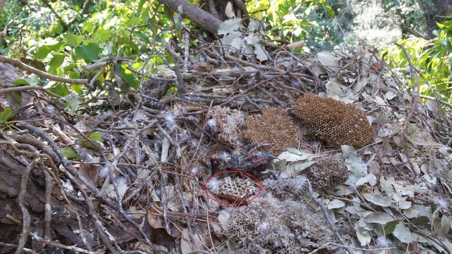 El interior de este nido de abejero europeo muestra un fragmento de avispero de avispa asiática.