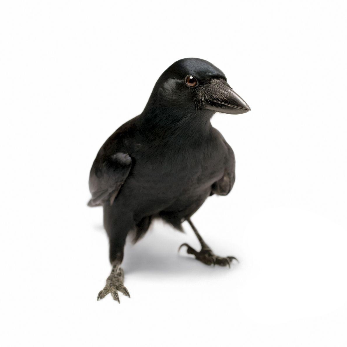 Cuervo de Nueva Caledonia