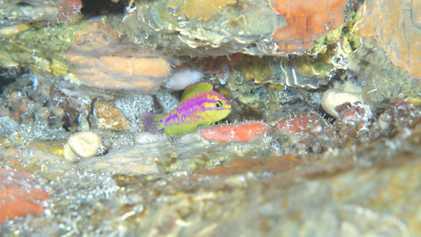 Hallan una nueva especie de pez de colores neón