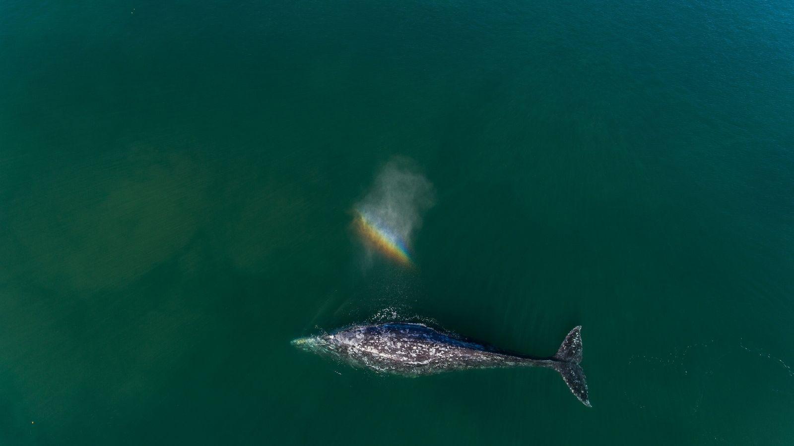 Una ballena gris adulta nada en la costa de Baja California Sur