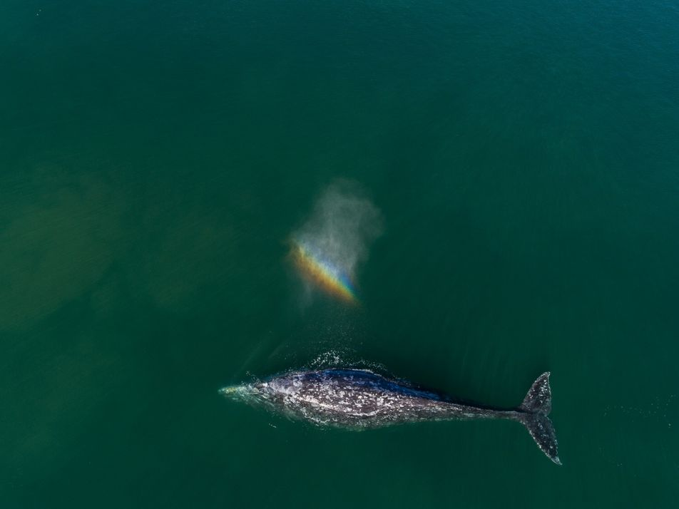 ¿Por qué están muriendo tantas ballenas grises en el Pacífico?