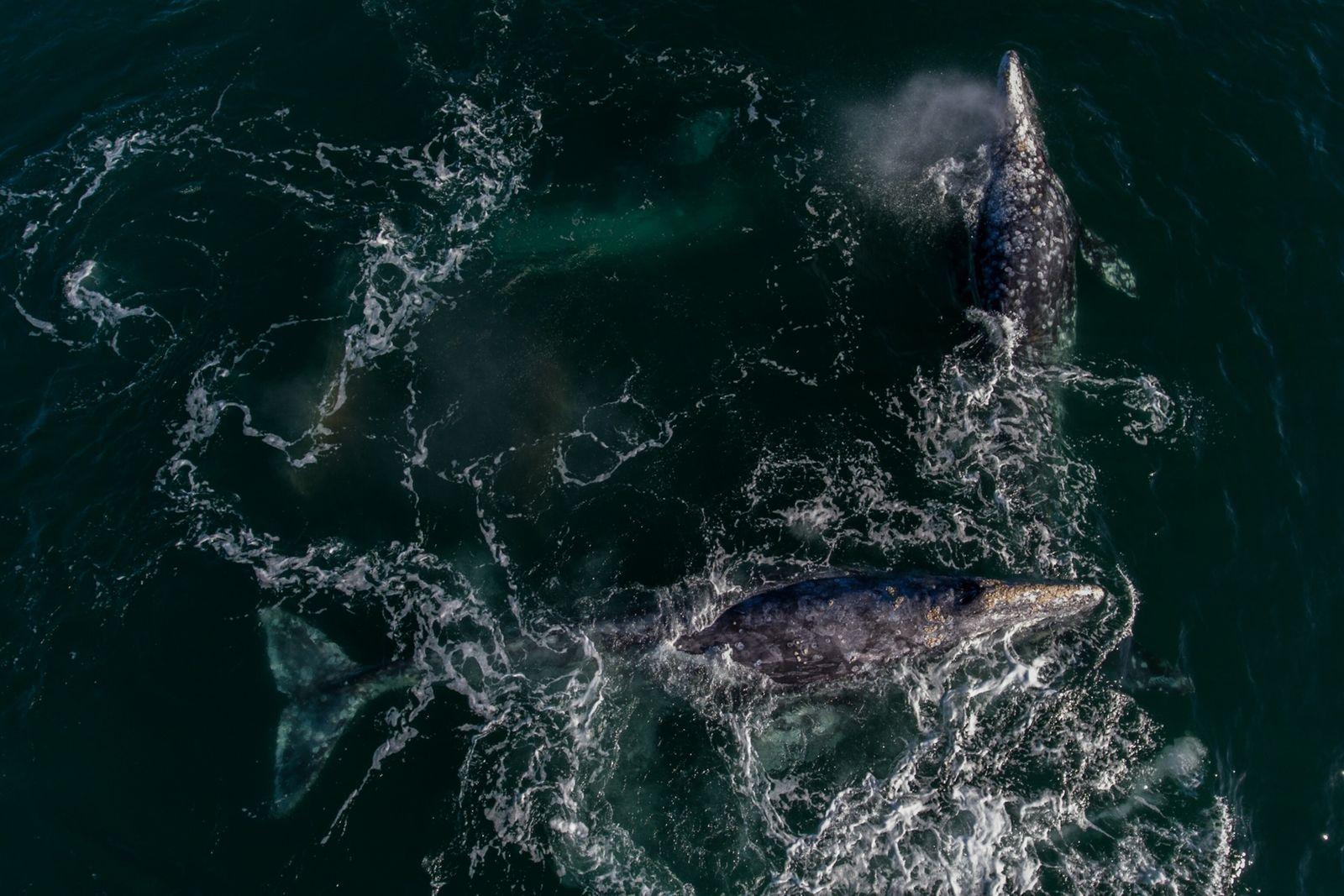 Tres ballenas se aparean cerca de Boca de Soledad