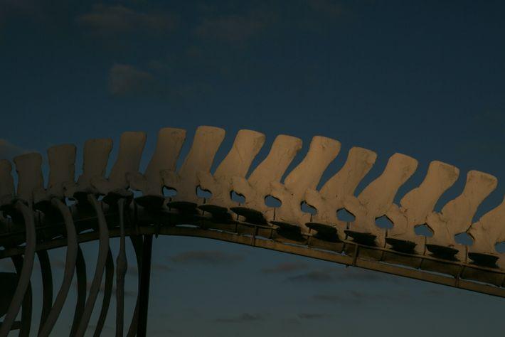La columna vertebral de una ballena gris