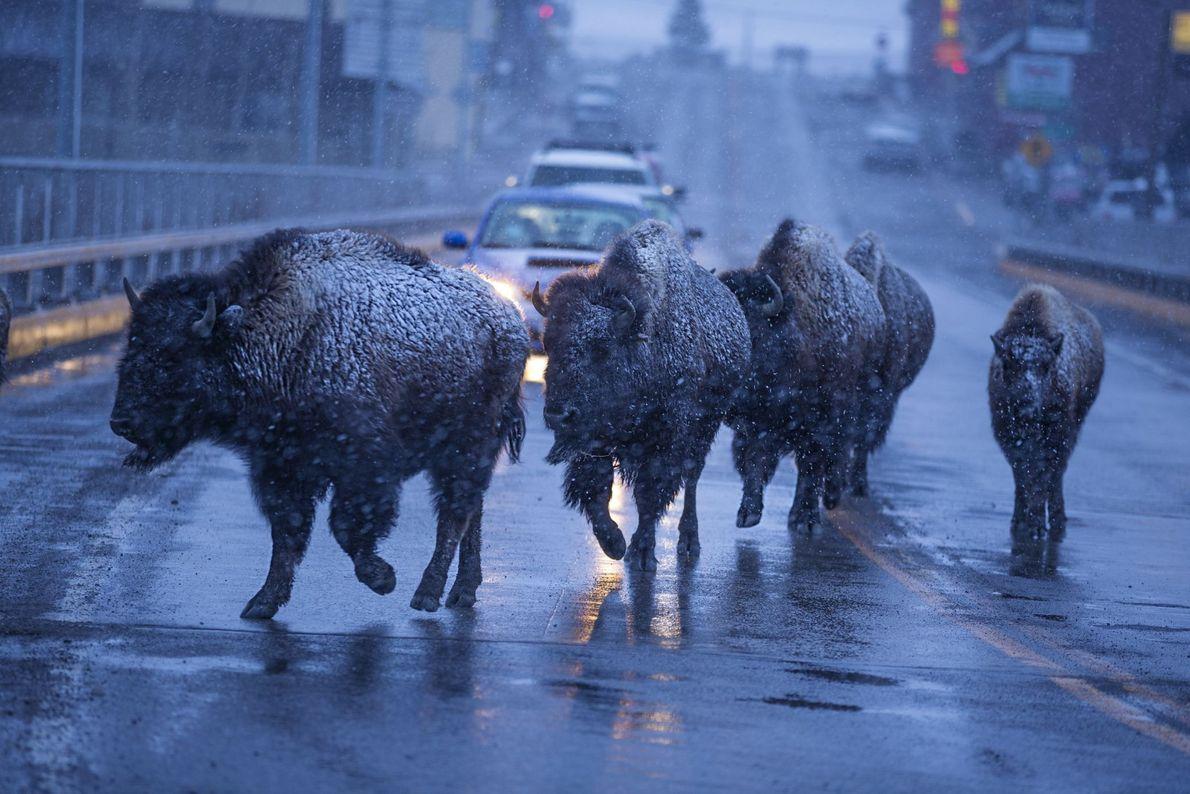 Caravana de bisontes