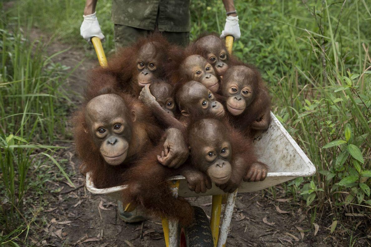 Orangutanes huérfanos