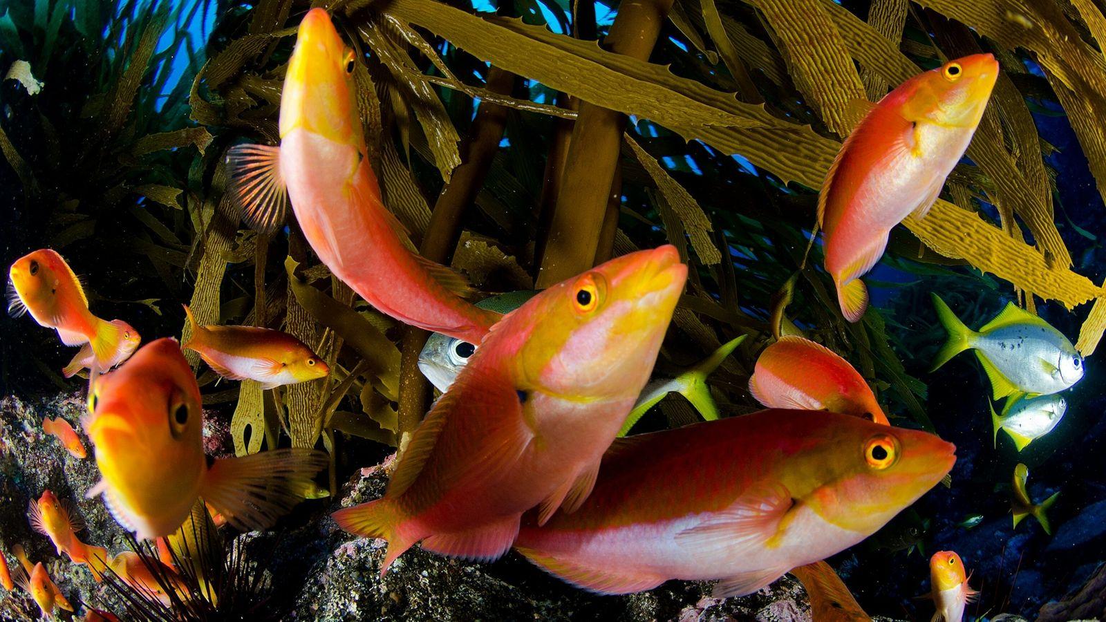 Imagen de peces lábridos de Chile