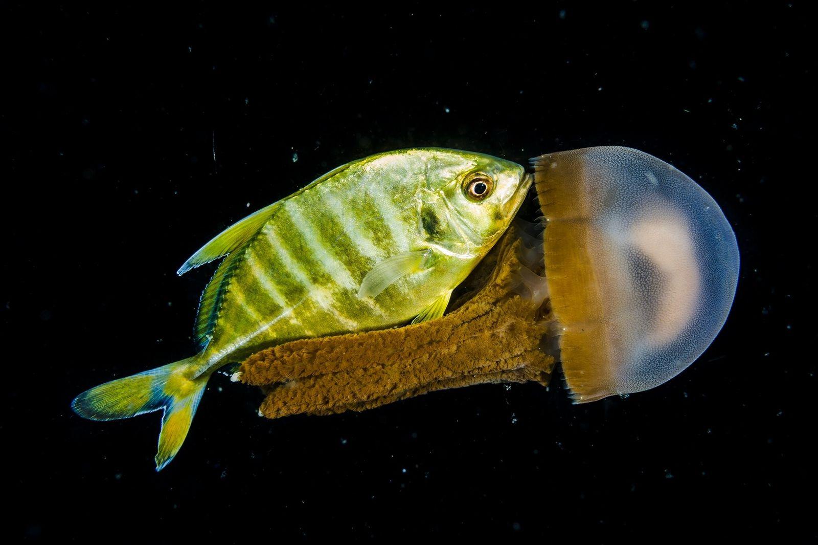 Fotografía de un jurel juvenil y una medusa