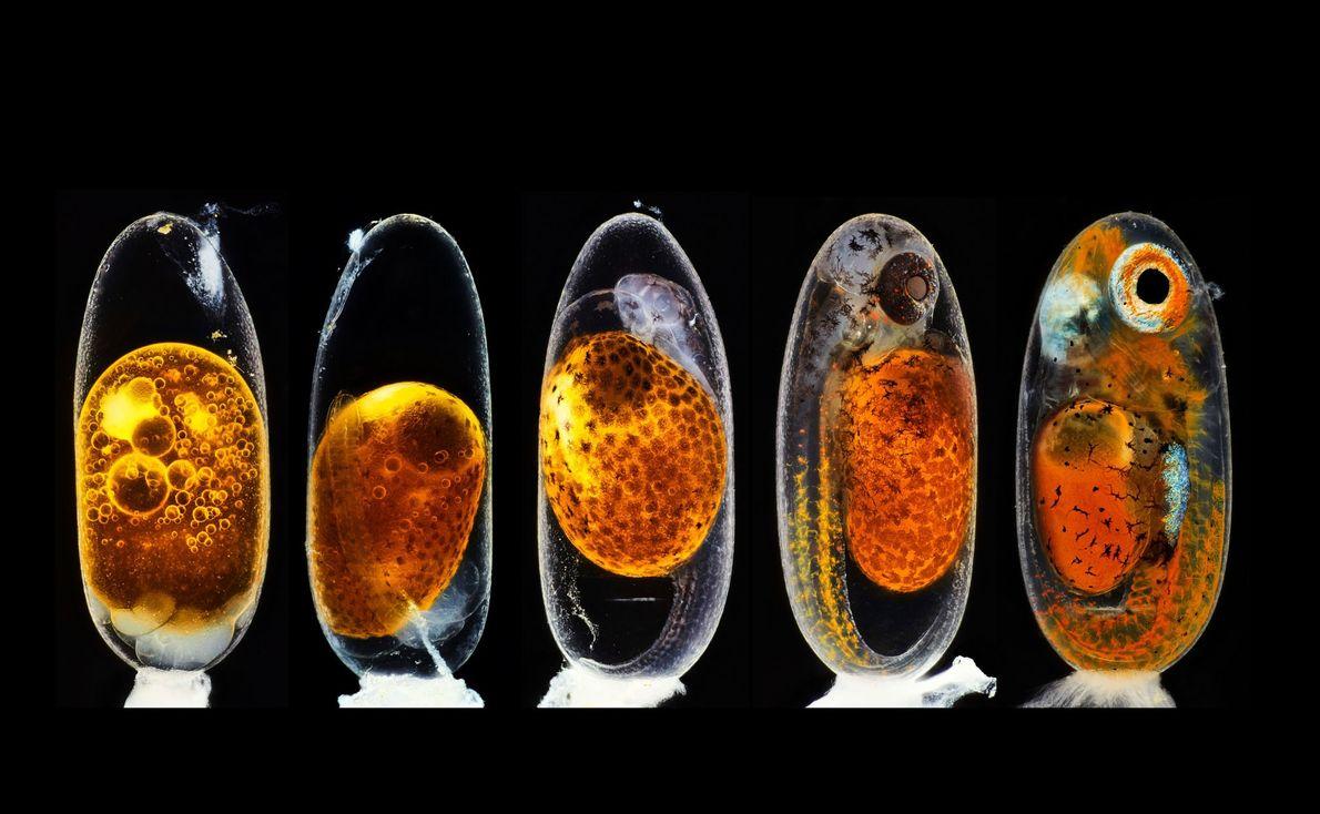 Embrión de pez payaso