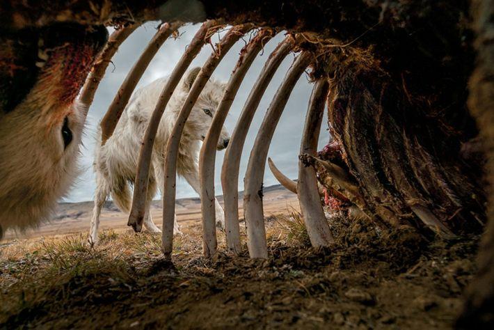 Lobos devorando el cadáver de un buey almizclero