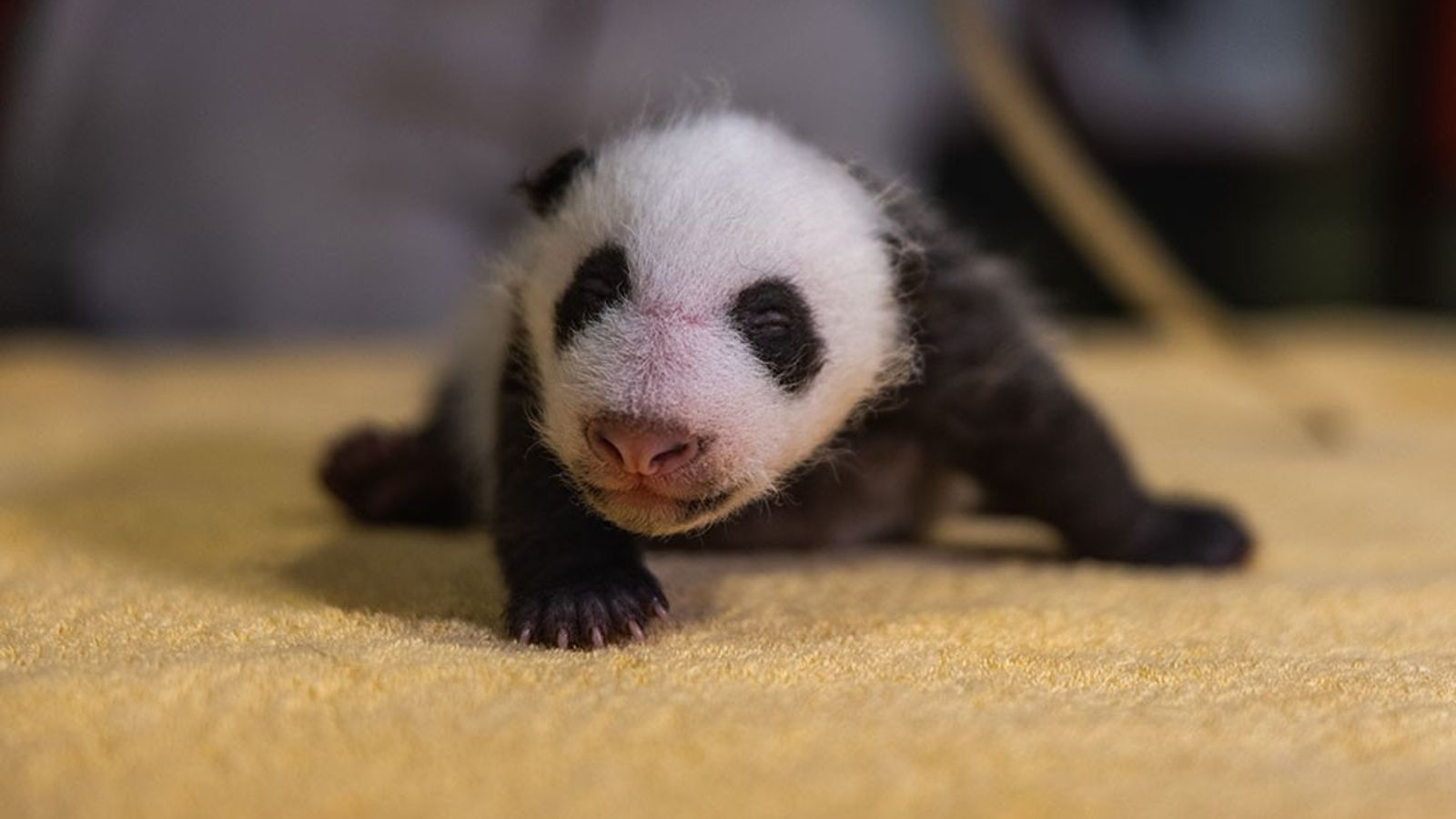 Cría de panda