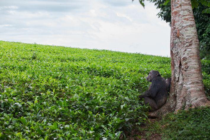 Dos chimpancés macho adultos