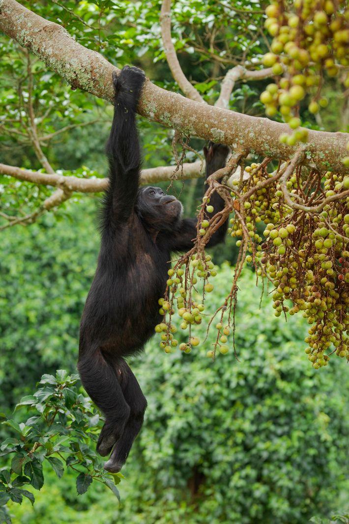 Chimpancé macho de Kibale
