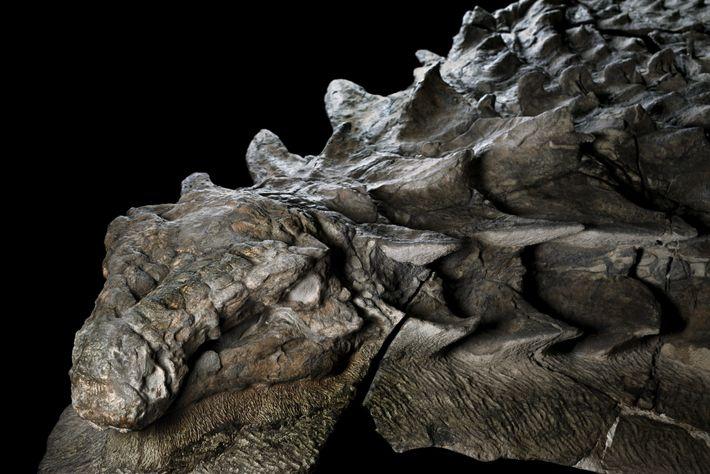 Fósil del Borealopelta