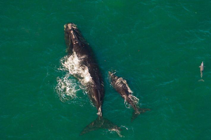 Fotografía de una ballena franca glacial hembra y su cría