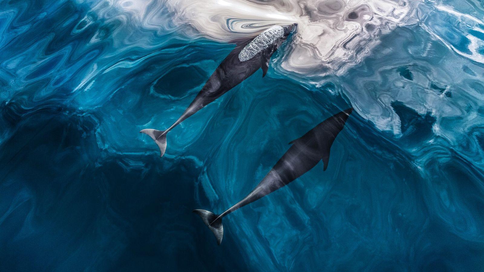 Fotografía de delfines lisos del norte