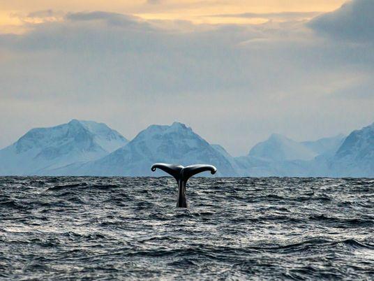 En el invierno ártico de Noruega, un barco busca cachalotes en el océano helado