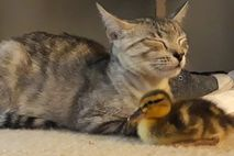 NW_DLY_ds1802001-27-australia-duckling-cat-family_ES~~~~~es~mux~~1.jpg