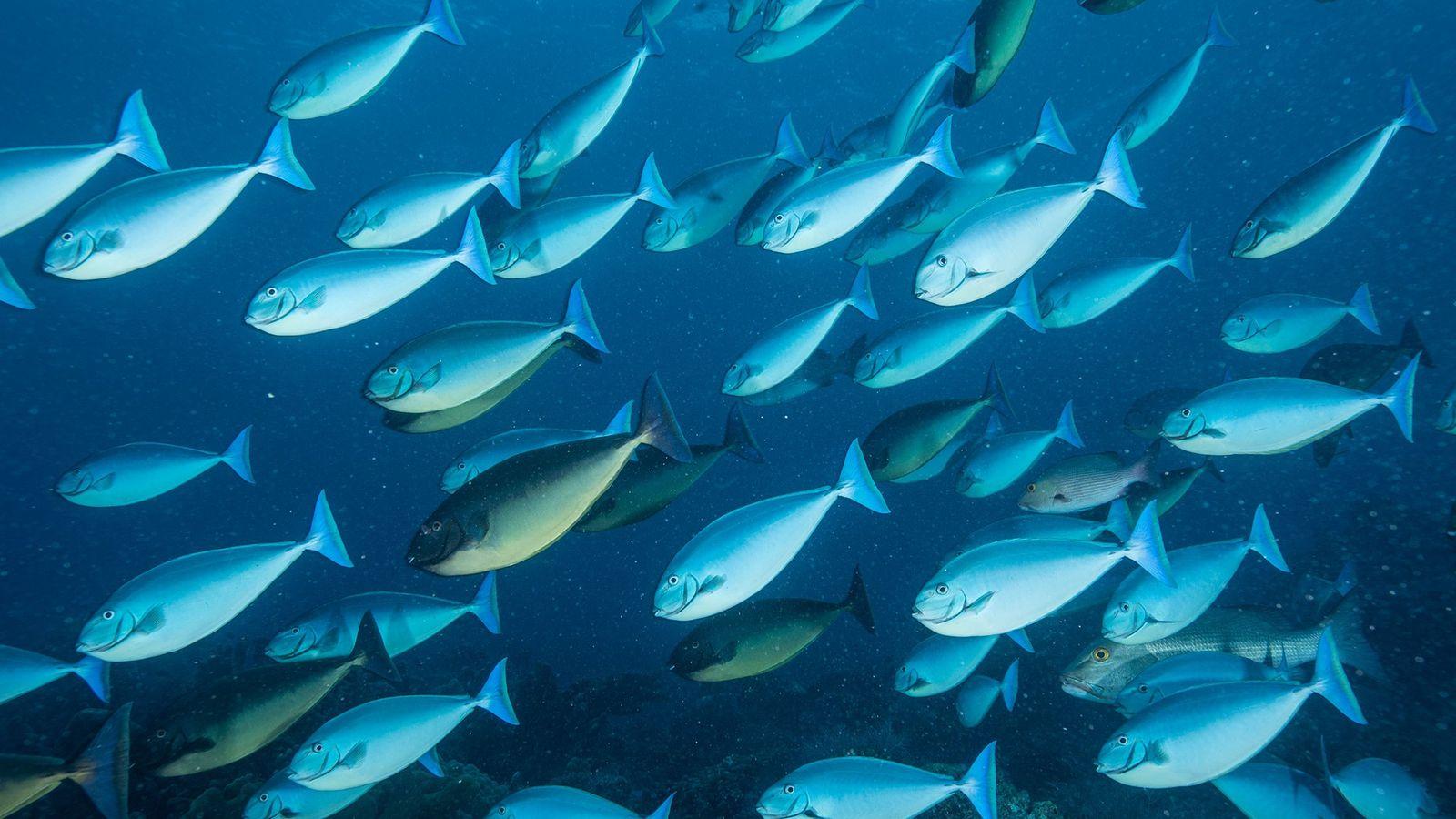 Un banco de peces cirujano
