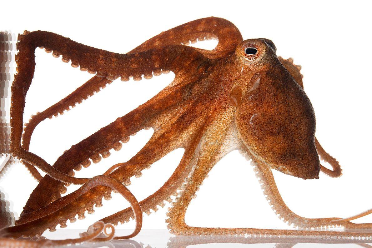 Callistoctopus aspilosomatis