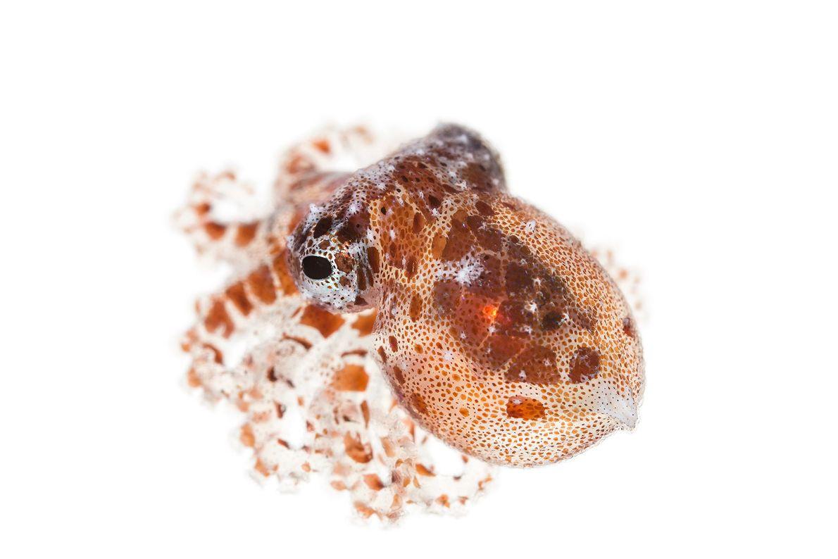Octopus wolfi