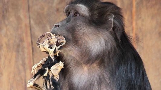 Una madre macaco se come a su bebé momificado, varias semanas después de su muerte
