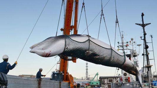 La caza de ballenas vuelve a Japón después de tres décadas