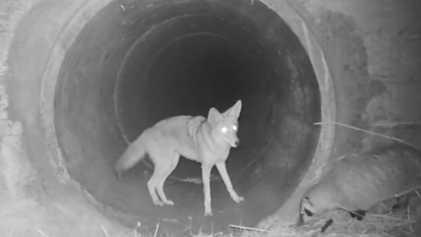 Un coyote y un tejón cruzan juntos un túnel bajo una autopista de California