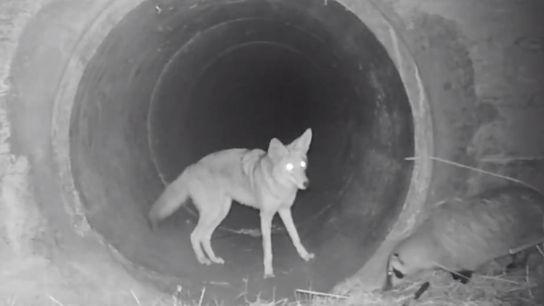 Coyote y tejón