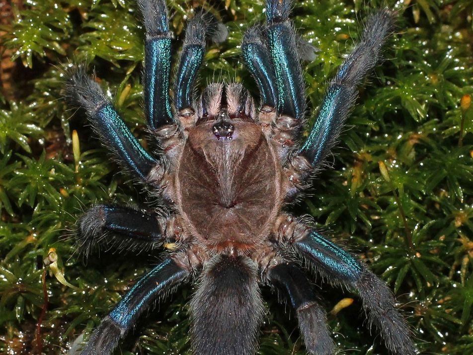 Descubren una nueva especie de tarántula de un llamativo color azul