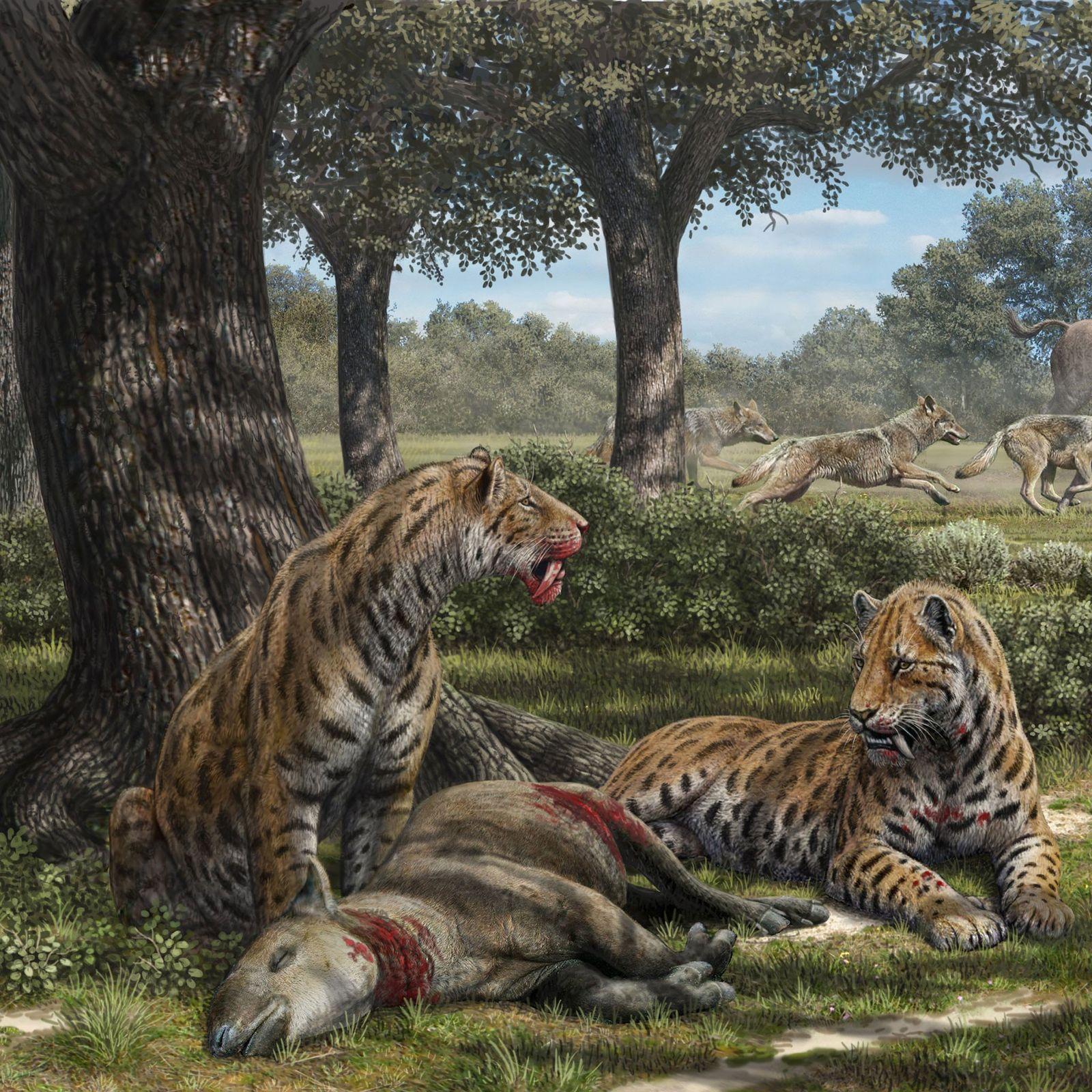 Los Fósiles Del Dientes De Sable Cambian La Historia Del Temible Gran Felino National Geographic