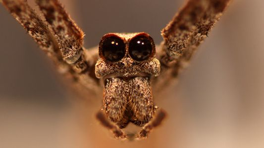 Las arañas «cara de ogro» pueden oír, pero no tienen oídos