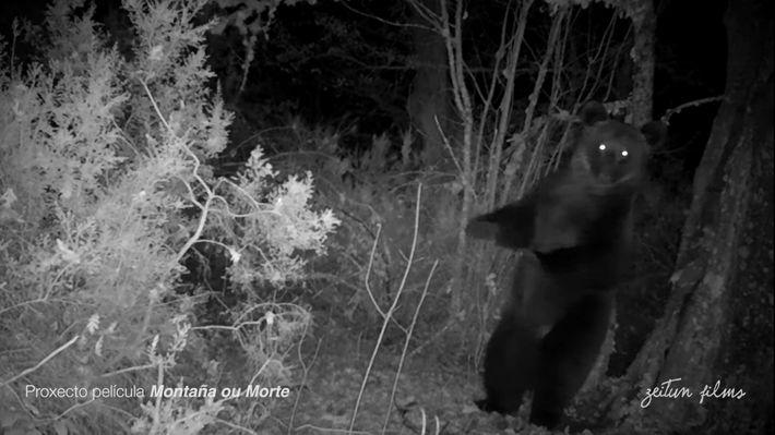 El oso pardo ha mantenido históricamente una presencia intermitente en la zona de los Ancares Lucenses ...