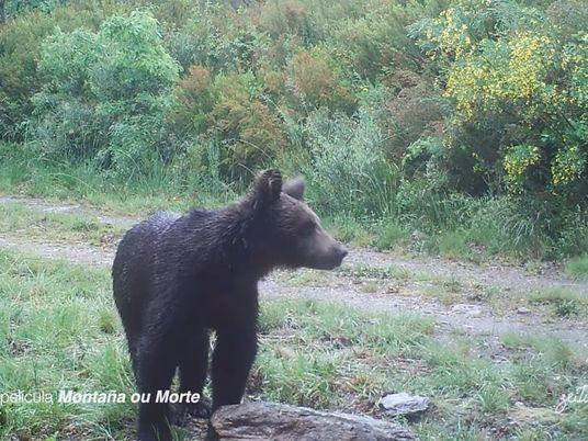 Graban a un oso pardo en el Macizo Central de Ourense por primera vez en más ...