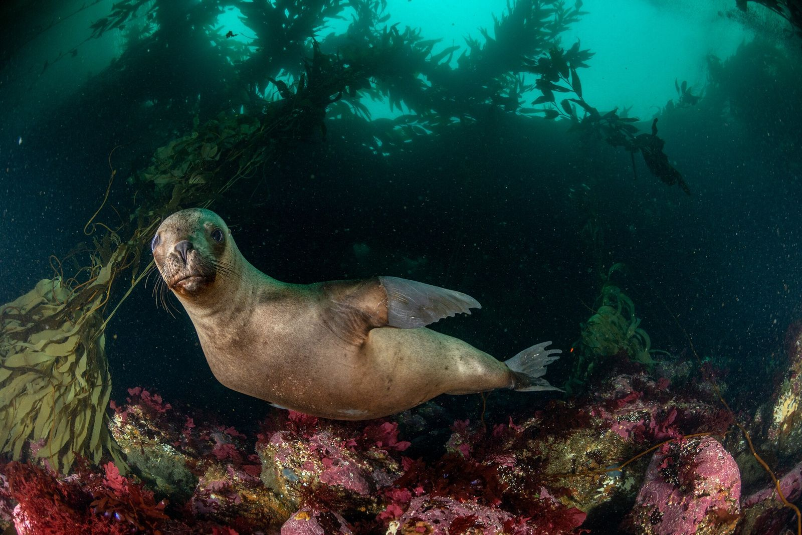 Fotografía de un lobo marino sudamericano