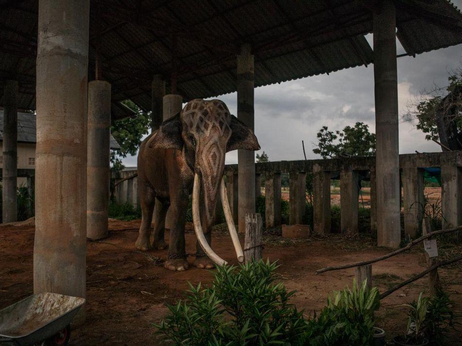 En esta aldea tailandesa, la vida gira en torno a 300 elefantes cautivos