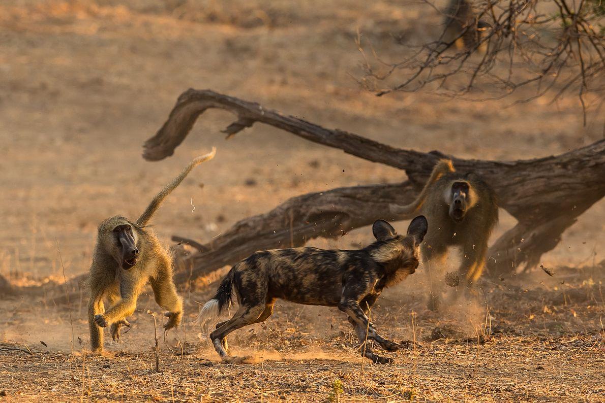 Licaones contra babuinos