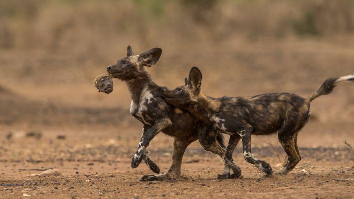 Cachorros de licaón