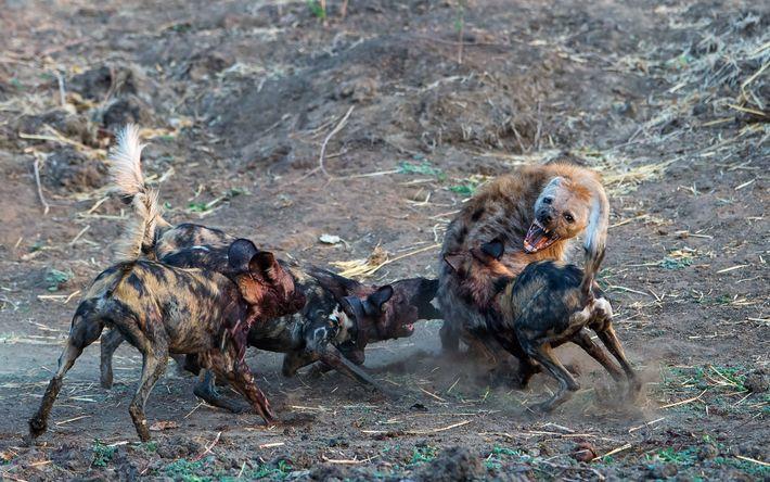 Licaones atacados por hienas
